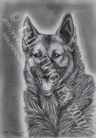Norwegian Elkhound by casualGEE