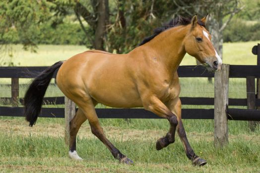 Dun Mare Horse Cantering by DWDStock