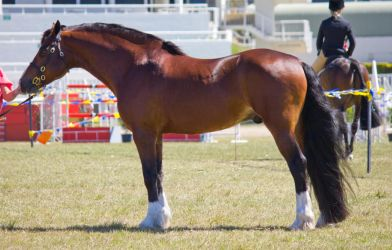 STOCK - Gold Coast show 268 by fillyrox
