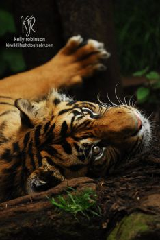Tibor the Tiger by Shadow-and-Flame-86