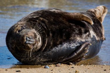 Grey Seal by Daniel-Wales-Images