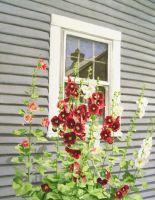 Mrs Korn's Hollyhocks by waughtercolors