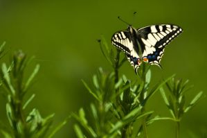 Butterfly by ervin21