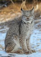 Quiet Canadian Lynx by White-Voodoo