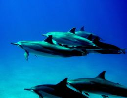 Dolphins by shadow2009
