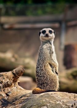 wee meerkat by roxiannie