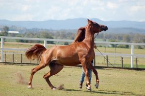 GE Arab chestnut canter side view by Chunga-Stock
