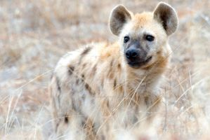 Spotted Hyena by jeffreyvandaele