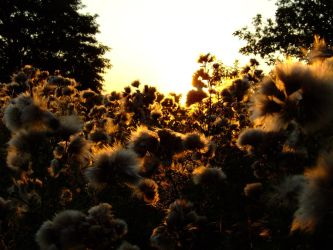 Thistledown sunset I by Nivienne