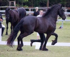 STOCK - Friesian Show 2012-109 by fillyrox