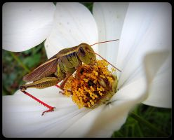 Grasshopper On The Cosmos by JocelyneR