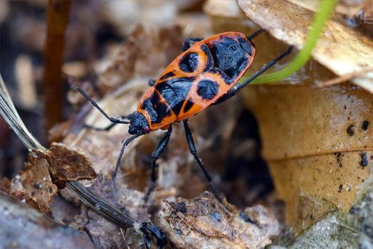 6697 Firebug under the dew by RealMantis