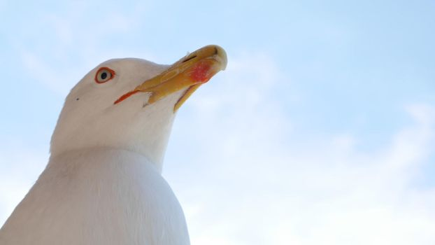 Common Gull Head by HYPPthe