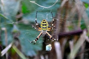 Yellow Spider by MaxBdn