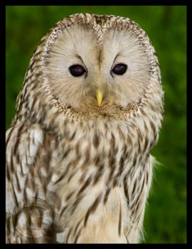 Mexican Spotted Owl by Digital-Eyes