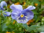 Pansy by KittyPierce