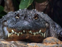Alligator smile by Martina-WW