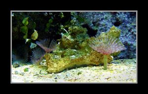 Featherduster Worms by Althytrion