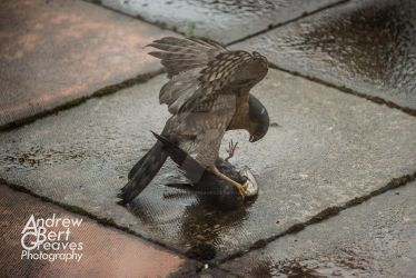 Sparrowhawk V Starling by AndrewBertGreaves
