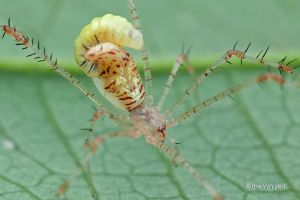 Theridiidae with parastoid wasp larva by melvynyeo