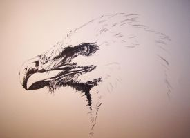 Bearded vulture wip by Concini