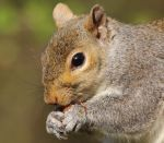 Grey Squirrel by pell21