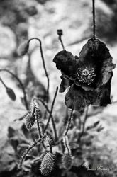 Black Poppy by Sweet-Nature
