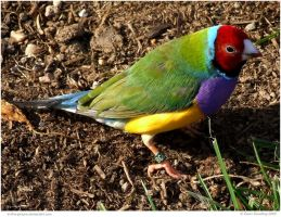 Gouldian Finch male by In-the-picture