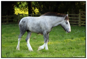 Shire Foal by ladyepona