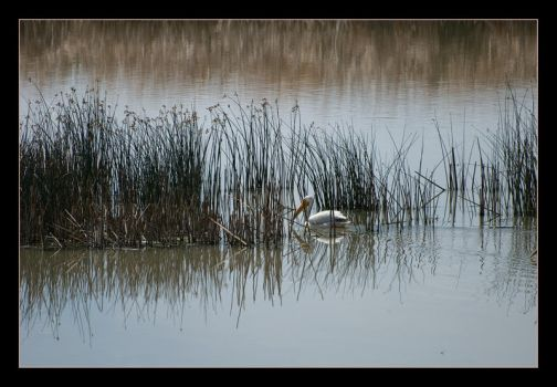 Pelican in the Reeds by kalany