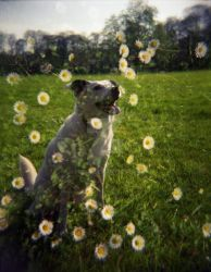 Dog in the Daisys by pdtnc