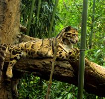 clouded leopard by triippyx