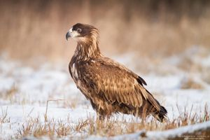 Young White Tailed Eagle by DominikaAniola