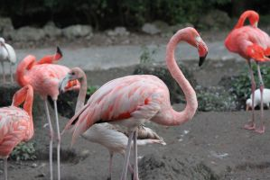 00287 - Pale Flamingo Pose by emstock