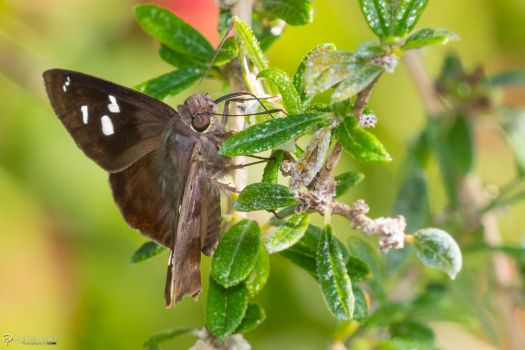 Skipper butterfly nectaring by CyclicalCore