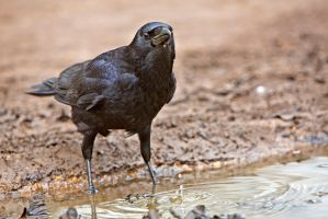 Thirsty Crow by cathy001