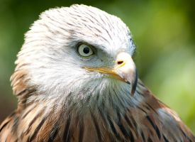 Red Kite by dark-angel-11309
