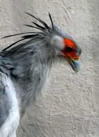 Secretary Bird 3 by Tinap