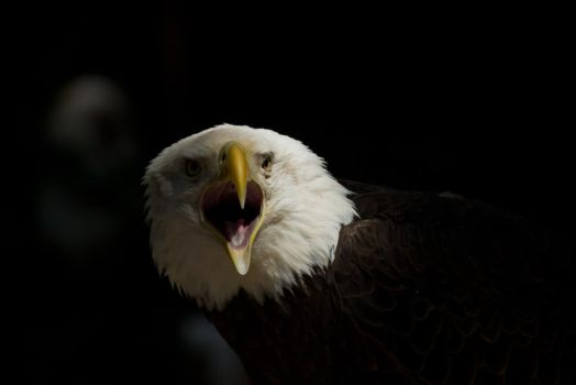 Bald Eagle by King-Dolphin