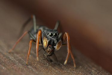 Ant Mimic Jumping spider by bredli84