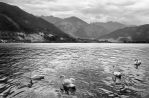 Zell Am See Swans by Pajunen