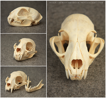 Bobcat skull by seriousbadger