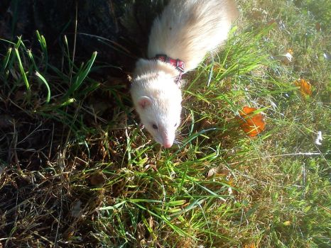 Gizmo the ferret by Lanalesty