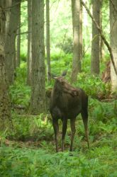 Young Female Moose Standing in Forest by happeningstock