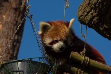 Red Panda by squashmequickly