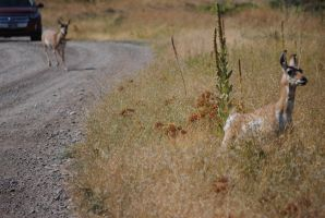 Pronghorn on the Road 005 by Mad-Willy