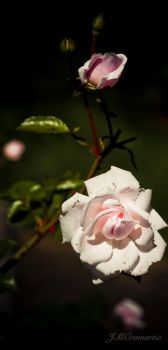 Nantucket Rose Series 5 of 8 by evilfooker
