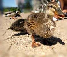 the ducklings by reachmehere