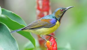 Brown Throated Sunbird.0096 by DPasschier