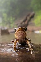 Forest Frog I by CBasco
